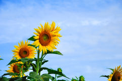 Sun flowers. Fields in Thailand Stock Photo