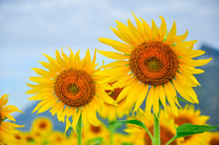 Sun flowers. Fields in Thailand Stock Image