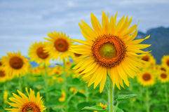 Sun flowers. Fields in Thailand Royalty Free Stock Photos