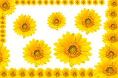 Sun flowers Royalty Free Stock Photo