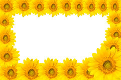 Sun flowers Royalty Free Stock Image