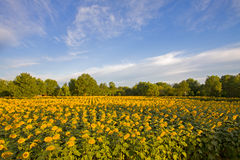 Sun flowers garden Royalty Free Stock Photos