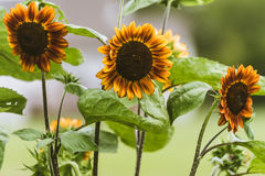 Sun flowers in the garden. grown in the midwest. Stock Image