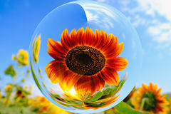 Sun flowers in glass ball effect with blurred Sun flowers field and blue sky background Royalty Free Stock Image