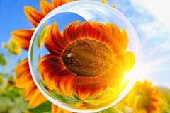 Sun flowers in glass ball effect with blurred Sun flowers field and blue sky background Stock Photos
