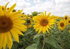 Sun flowers. Grown in field Stock Photo