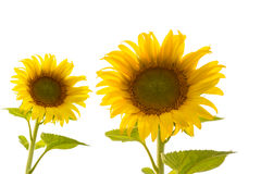 Sun flowers isolated on white. Royalty Free Stock Photos