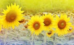 Sun flowers Stock Image