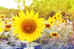 Sun flowers Royalty Free Stock Photos