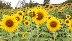 Sun flowers. Nature background walpaper Stock Image
