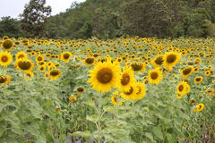 Sun flowers Royalty Free Stock Photography