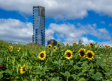 Sun Flowers and Skyscraper Royalty Free Stock Photography