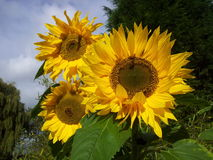 Sun flowers. Sunshine on a beautiful sun flower Royalty Free Stock Photography