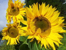 Sun flowers. Sunshine on a beautiful sun flower, example of mathematics and the golden ratio Stock Images