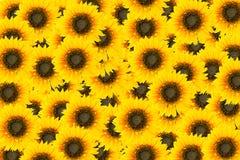 Sun flowers tiles Royalty Free Stock Image