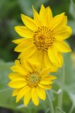 Sun Flowers in Yellowstone National park Stock Photography