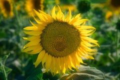 Sun Flowet au soleil Images libres de droits