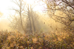 Sun and fog. Autumn reed in the early morning fog Royalty Free Stock Photos