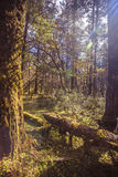 Sun in the forest. Alpine forest at an altitude of over 2,000 meters Stock Photography