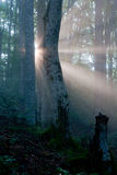 Sun in the forest. Sun lights swamping the morning forest Stock Photos