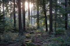 Sun in the forest Royalty Free Stock Photo