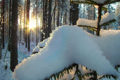 Sun in the forest. Snowdrift on a spruce branch lit winter sun Stock Images