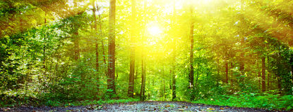 Sun in forest. Sunlight in green forest - panorama photo royalty free stock photos