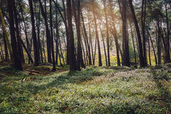Sun in the forest. Royalty Free Stock Images