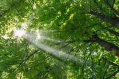 Sun fra le foglie della castagna Immagine Stock