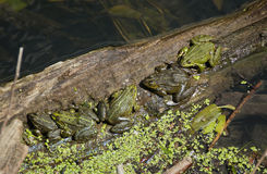 Sun frogs. Frogs by the water sunbathing Stock Photography