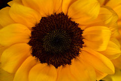 Sun in the garden. Portrait of a sunflower. Macro Photographie of nature Royalty Free Stock Image