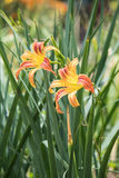 Sun Gazing. A pair of orange and yellow daylilies lean toward the summer sun stock photography