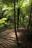 The Sun glanst door de Groene Bladeren van Fern Trees royalty-vrije stock fotografie