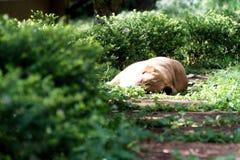 Sun-Glanz auf einem schläfrigen Hund Stockbilder