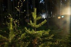 Sun-Glanz auf Kiefer Lizenzfreies Stockbild