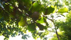 Sun-Glanz durch Baum lässt Schuss stock video footage