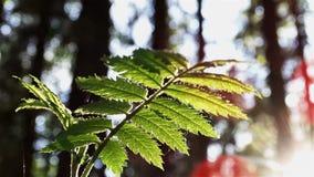 Sun-Glanz durch Blätter stock footage