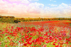 Sun glare poppies Royalty Free Stock Photography