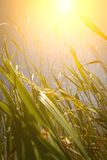 Low in the Field. The sun glares down upon a field of tall grass Stock Images