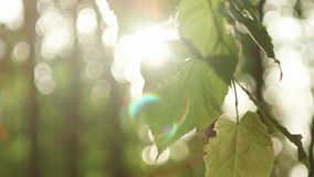 Sun glimmering through ferns. Beautiful shot of sun glimmering through ferns. Green leaves and sun with beautiful lens flare against the sky stock video