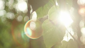 Sun glimmering through ferns. Beautiful shot of sun glimmering through ferns. Green leaves and sun with beautiful lens flare against the sky stock footage