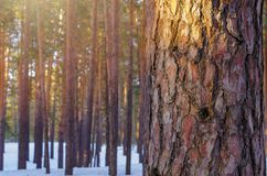 Sun Glow In Snowy Winter Forest. Pine Tree Trunk Closeup.  royalty free stock photo