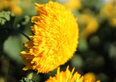 Sun Glow Sunflower Royalty Free Stock Photos