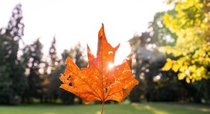 A golden Autumn maple leaf with sunlight shining in the background stock photos