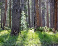 Sun Glowing Through Pine Trees onto Lush Grass in Rocky Mountain National Park. Beautiful glowing grass in the morning at Rocky Mountain National Park. Perfect royalty free stock photography