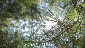 Sun glows through the pine forest stock footage
