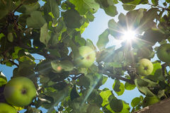 Sun go through apple tree leafs Stock Images