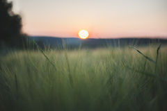 Sun goes down. In corn field Stock Images