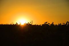 Sun going down on the edge of the field. With sunflowers Stock Photos