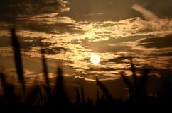 Sun through a grain field. Sunset viewed through a grain field Royalty Free Stock Image